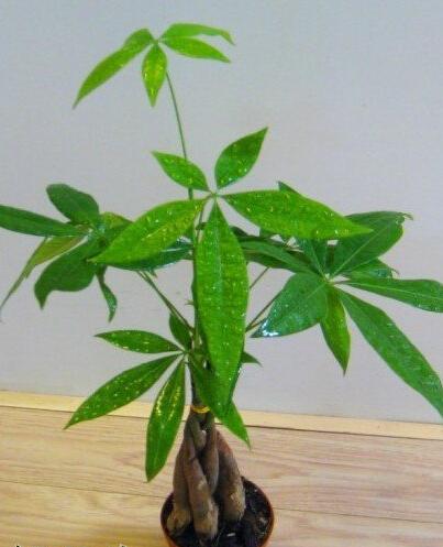 生活小百科 发财树的养殖方法